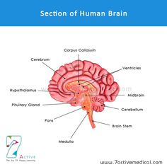Section of Human Brain