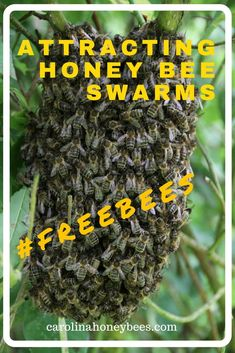 Attracting honey bee swarms to swarm traps or bait hives can be a profitable undertaking. Bee swarms are a natural occurrence and a way to add more beehives to your apiary. #beekeeping #bees #beeswarms