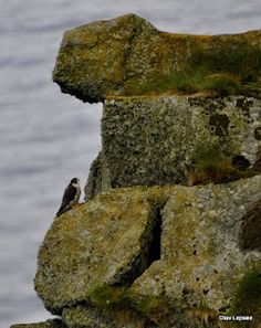 Vandrefalk / Peregrine falcon. Runde, Norway by Olav Lepsøe.
