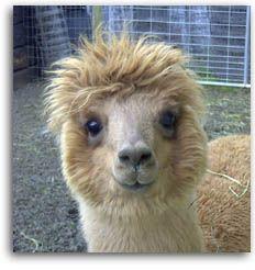sweet alpaca