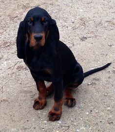 Black and Tan Coonhound 02