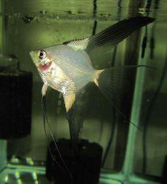 Philippine Blue Paraiba Angelfish