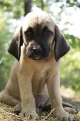 Walker~ is an adoptable Hound Dog in Pearl River, NY. Walker is a sweet little 8 week old male Hound mix puppy surrendered to our rescue in TN. He loves other dogs and really loves to play with adults...