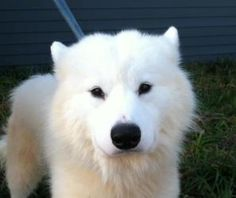 tough case but beautiful Shondi is an adoptable Samoyed Dog in West Chester, PA. CCSPCA rescued me and 27 of my pals from horrible conditions at a breeding facility, where we lived in sheds with wire floors that cut our paws ...