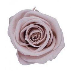 FL0100-55 Standard Rose / Nude Pink