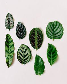 Marantaceae varieties