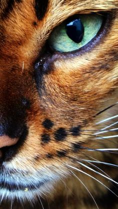 How much more gorgeous can a cat's eye get? LOOKS EXACTLY LIKE MY MALE BENGAL!!!
