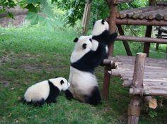 Pandas bebe