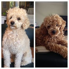CODY and CRUMPY from #hashed #poodlesofinstagram @sooziecorvi