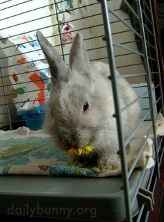 Bunny nibbles on a dandelion - January 31, 2015