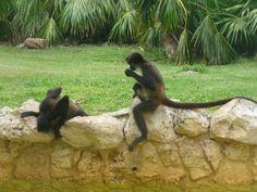 Sandos Caracol Riviera Maya Eco Resort Spider Monkeys