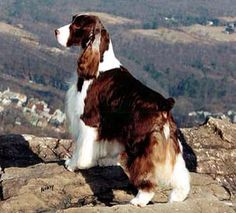 Picture perfect Springer!