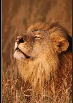 When a Lion wakes up in the morning he is usually hungry... and no one brings him food.