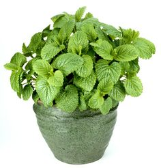 Lemon Balm uses and benefits. About the lemon balm plant. How you can uses lemon balm in cooking. How Melissa Officinalis got its name. Best Desk Plants, Lemon Balm Uses, Herbs For Sleep, Tea Before Bed, Herbs List, Herbs For Health, Chamomile Tea, Natural Herbs, Natural Health