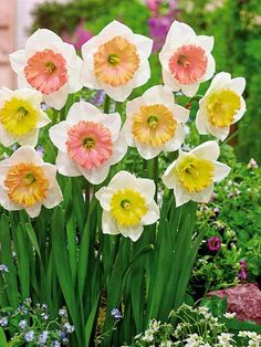 10 Narcisses 'Sentinelle'