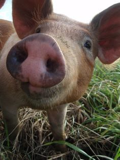 """I am fond of pigs. Dogs look up to us. Cats look down on us. Pigs treat us as equals.""  ― Winston Churchill"