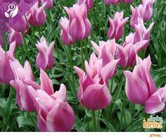 Colorida e delicada, a tulipa é uma flor que deve ser cultivada em terra preta rica em matéria orgânica.  É importante mantê-la em um ambiente arejado e com iluminação indireta. O significado do seu nome é beleza e prosperidade. Nós amamos! <3
