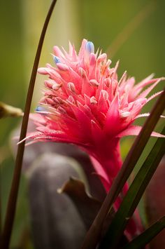 pink bromeliad by raspberrytart, via Flickr