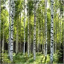Image result for birch