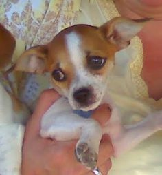 teacup chihuahua/jack russellix | Teacup+jack+russell+chihuahua+mix ...