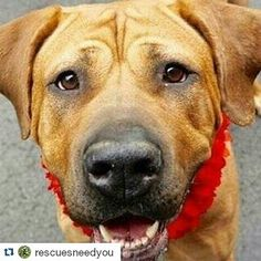 #Repost @rescuesneedyou -- #repost @rescuedogsrocknyc with  We saved Queen from the NYC shelter  As we write this she is being transported to our vet partner where she will need life saving surgery.  Unfortunately Queen has a  Vaginal prolapse that needs to be surgically repaired or she will die. We have called in our Board Certified Surgeon to perform the surgery.  Queen is a volunteer and staff favorite a 2 year old Rhodesian Ridgeback  She comes with glowing shelter notes and once she is…