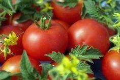 Сорта томатов, не требующие пасынкования - Магия растений