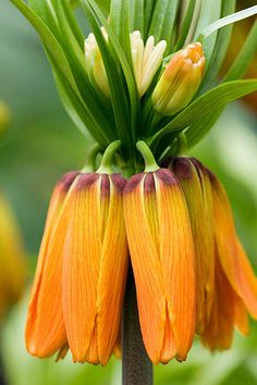 ✯ Fritillaria imperialis prolifera (Syn crown on crown)