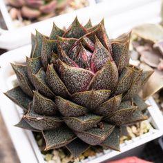 Echeveria purpusorum 大和锦 2020-06-14 #succulents #多肉植物 #echeveria #多肉 #拟石莲属 #echeveriapurpusorum