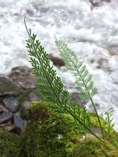 Asplenium bipinnatum var. prolongatum