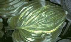 Hosta 'Stargate' photo courtesy of Q and Z Nursery