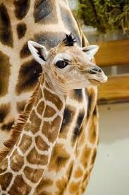 A giraffe calf was born recently at the Woodland Park Zoo in Seattle. Photo by Ryan Hawk / Woodland Park Zoo. Baby Animals, Cute Animals, Woodland Park Zoo, Happy First Birthday, Living At Home, African Animals, Beautiful Birds, Beautiful Creatures, Animal Kingdom