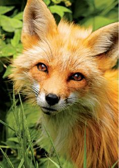 Red Fox | Canadian Geographic