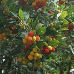 Arbusto de guayaba fresa guayaba arbustos y las aves - Arbustos de jardin de hoja perenne ...