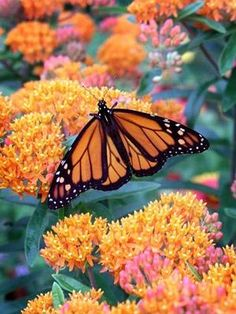 Monarch on Milkweed Butterfly Weed