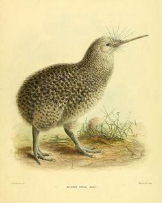 He encontrado este interesante anuncio de Etsy en https://www.etsy.com/es/listing/174759582/vintage-kiwi-bird-art-print-antique