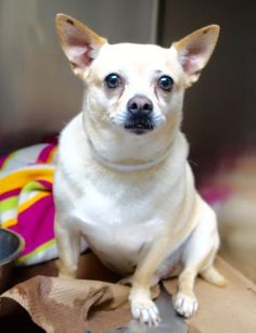 PEANUT - #A1085363 - Urgent Manhattan - NEUTERED MALE TAN CHIHUAHUA SH MIX, 5 YRS - OWNER SUR - ONHOLDHERE, HOLD FOR ID Reason MOVE2PRIVA - Intake 08/14/16 Due Out 08/21/16 - TENSE AND NERVOUS DURING EXAM - CAME IN WITH LUCKY LUCK #A0694312