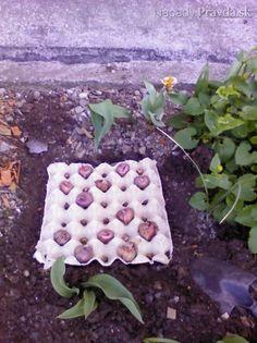 Sadenie gladiol do obalov od vajec (fotopostup) Gladioli, Lavander, Spring Garden, Vegetable Garden, Gardening Tips, Stepping Stones, Flora, Backyard, Exterior