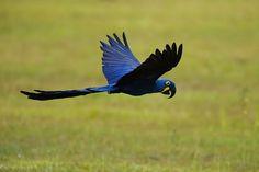 Os animais mais lindos do mundo: Arara Azul, características e curiosidades