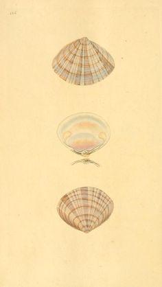 The natural history of British shells - Biodiversity Heritage Library