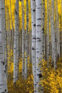 Stretched Canvas Print A Forest Of Aspen Trees With Golden Yellow Leaves In Autumn By