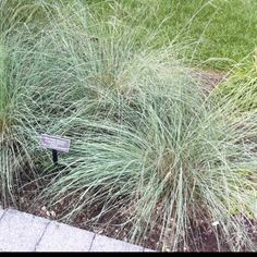 Elliott's love grass (Eragrostis elliottii), marginal but seeds in Zone 6