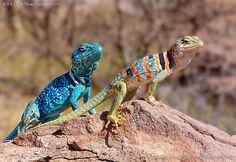 Lagarto Azul (Blue Lizard)  The Mexican 'Blue' collared lizard (Crotaphytus dickersonae)(male/left, female/right) at Bahia Kino, Sonora, Mexico.