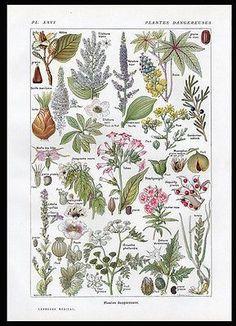 Botanical Print Larousse Dangerous 2 Plants Print French Text 1921 Home Decor
