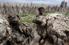 Jute Farmers in Bangladesh, Thousands of Tonnes Exported, Very Cheap, Very Economical Farmers, Jute, Liberty, Competition, Lion Sculpture, Statue, Design, Political Freedom, Freedom