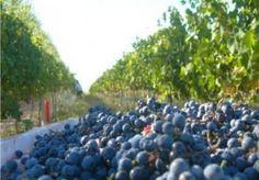 Entre uvas y dinosaurios: La ruta del vino de Neuquén