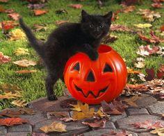 cats black cat jack o lantern pumpkins wallpaper High Quality Wallpapers,High Definition Wallpapers Wallpaper Schwarz, Cat Celebrating, Kitten Wallpaper, Wallpaper Wallpapers, Mobile Wallpaper, Fall Cats, Black Cat Costumes, Cute Black Cats, Black Kitty