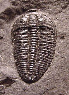 Name: Alokistocare sp.  Order Ptychopariida, Suborder Ptychopariina, Superfamily Ptychparioidea, Family Alokistocaridae  Locality: Millard Co., Utah   Stratigraphy: Wheeler Shale Fm., Middle Cambrian