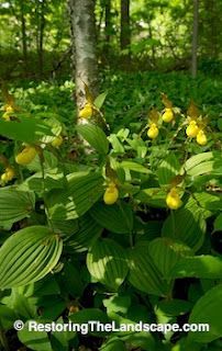 Large Yellow Lady's Slipper ~ Cypripedium parviflorum. I love planting the Yellow Lady's Slipper with Virginia Bluebells, they bloom at the same time, brow in similar conditions, the textures and yellow with the blue are beautiful together.