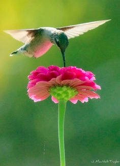 Hummingbird and pink zinnia • Jennifer MacNeill Photography on Flickr