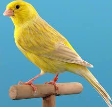 Resultado de imagen para canarios verdes
